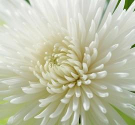 chrysant-pluis-anastasia
