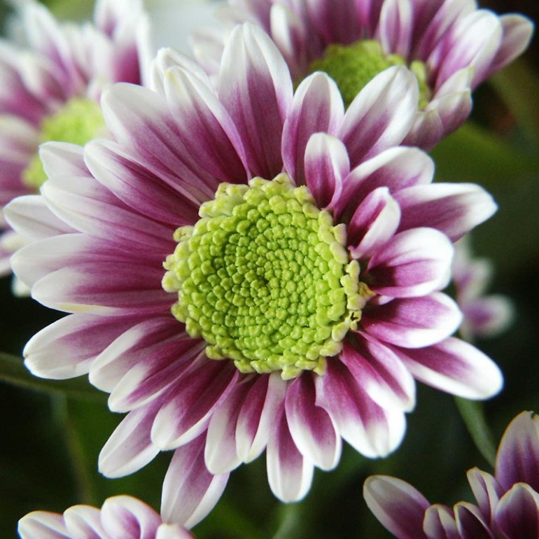 chrysant-special