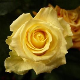 roos-geel