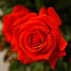 roos-rood