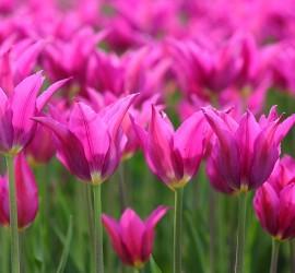 tulpen-paars