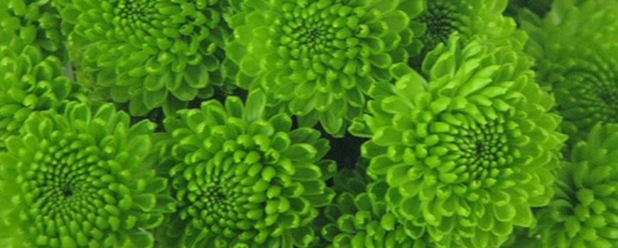 Chrysant-Green