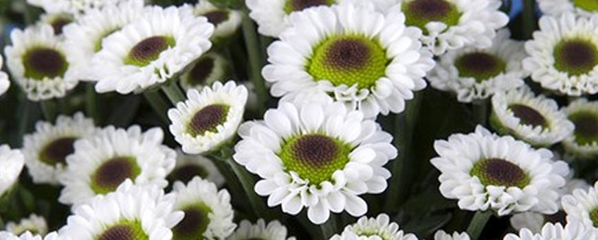 chrysant-betty
