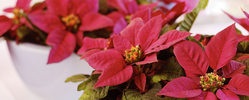 Kerstbloemen H.J. de Mooij
