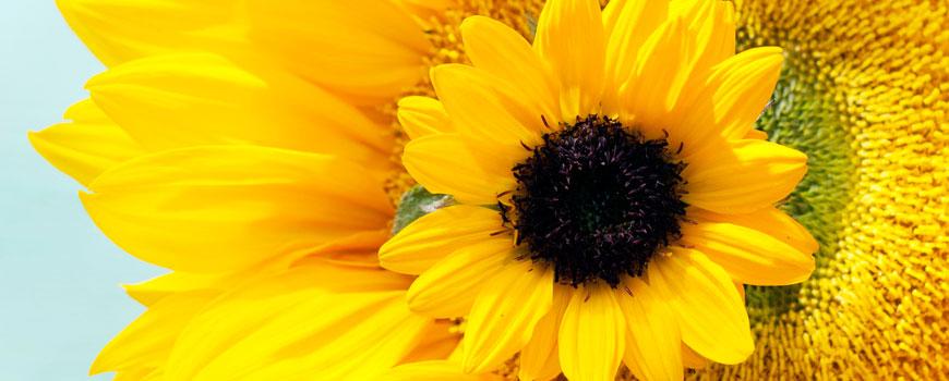Zonnebloemen HJ de Mooij